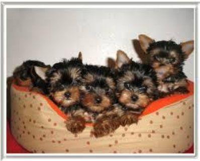 Sweet little Blake Yorkie puppy