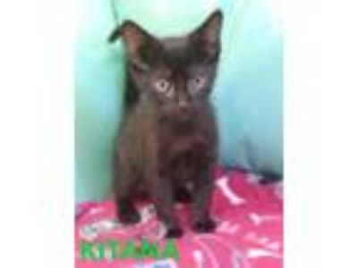 Adopt Kitana a Domestic Short Hair