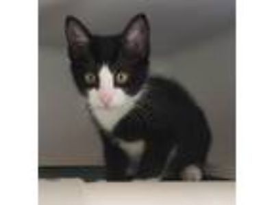 Adopt Stray a Domestic Shorthair / Mixed (short coat) cat in Highland Village