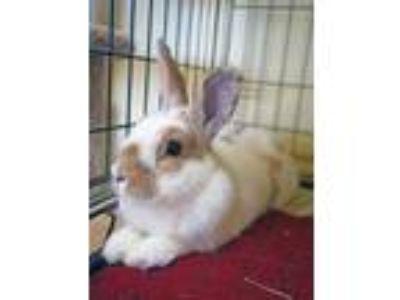 Adopt Clover a White English Spot / Mixed (short coat) rabbit in Escondido