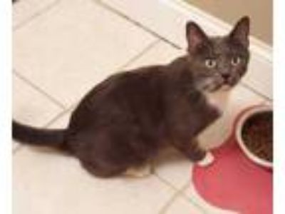 Adopt Scouty and 4 kittens a Gray or Blue Domestic Shorthair / Domestic