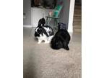 Adopt Oreo / Thomas a English Spot / Mixed (short coat) rabbit in Tampa