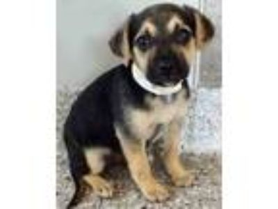 Adopt Joy a Black - with Tan, Yellow or Fawn Dachshund / Terrier (Unknown Type