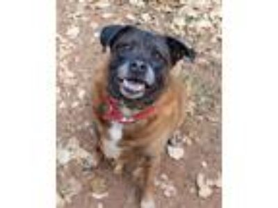 Adopt Mickey fully trained a Brown/Chocolate - with Black Boxer / Border Collie