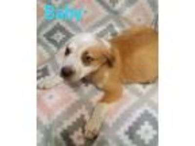 Adopt Baby a Cattle Dog, Border Collie