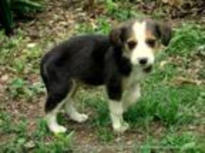 Adopt ELIJAH~ADOPTED a Tricolor (Tan/Brown & Black & White) Beagle / Mixed dog