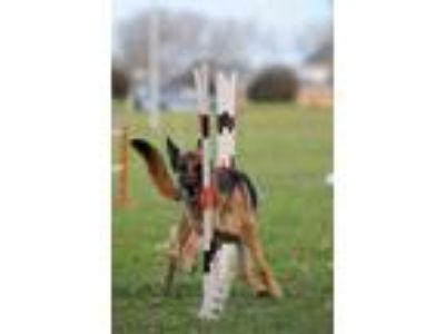 Adopt DONATIONS: AGILITY EQUIPMENT a German Shepherd Dog