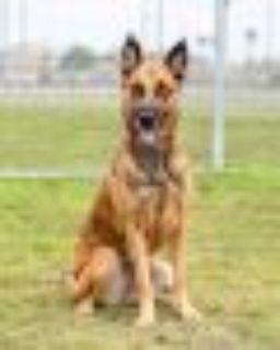 Leah Belgian Shepherd / Malinois Dog