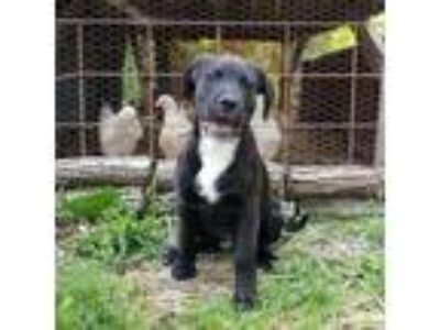 Adopt Dinger a Black Labrador Retriever / Mixed dog in Germantown, OH (25304896)