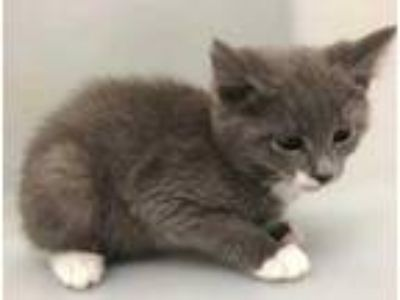 Adopt Ares a Gray or Blue Domestic Shorthair / Domestic Shorthair / Mixed cat in