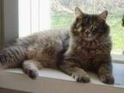 Adopt Jack a Domestic Medium Hair