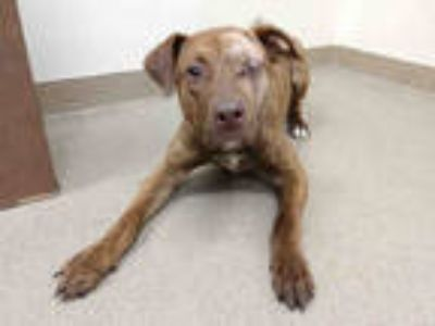 Adopt RIZZO a Brown/Chocolate Labrador Retriever / Plott Hound / Mixed dog in