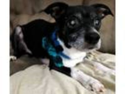 Adopt LANCE a White - with Black Rat Terrier / Mixed dog in Elyria