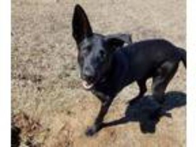 Adopt Charlie a German Shepherd Dog, Labrador Retriever