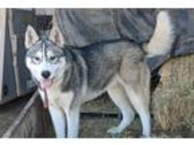Adopt Chief a Black - with Tan, Yellow or Fawn Husky / German Shepherd Dog /
