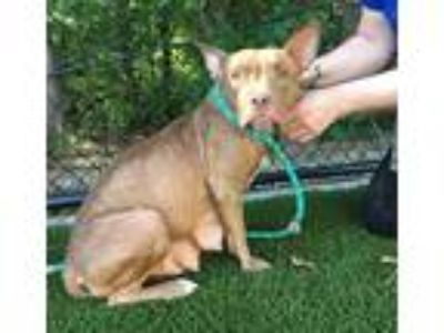 Adopt Junie a American Staffordshire Terrier / Mixed dog in Raleigh
