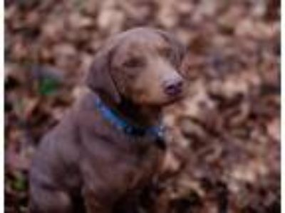 Adopt Chance a Brown/Chocolate Labrador Retriever / Mixed dog in Lewisville