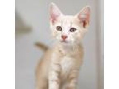 Adopt Jake a Tan or Fawn Domestic Shorthair / Domestic Shorthair / Mixed cat in