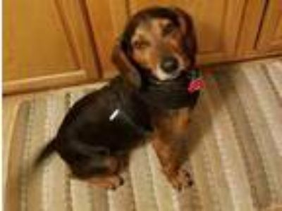 Adopt Peewee a Black Basset Hound / Mixed dog in Charlottesville, VA (25831386)