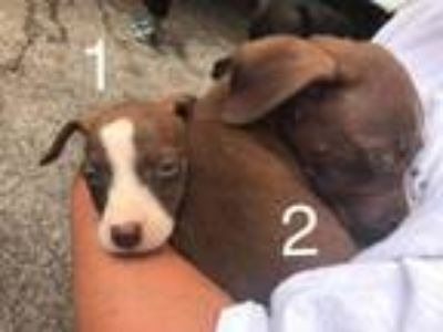 Adopt Puppy 2 a Mixed Breed
