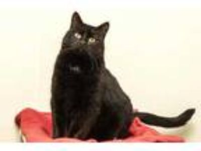 Adopt Sylvia a All Black Domestic Shorthair / Domestic Shorthair / Mixed cat in