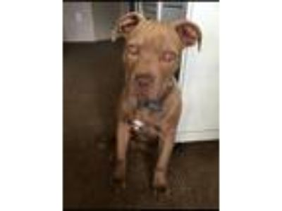 Adopt Ruben a Brown/Chocolate American Pit Bull Terrier / Mixed dog in Live Oak