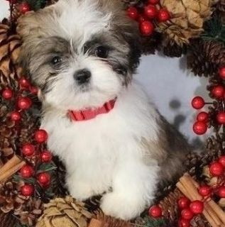 Innovative Shih tzu puppies available