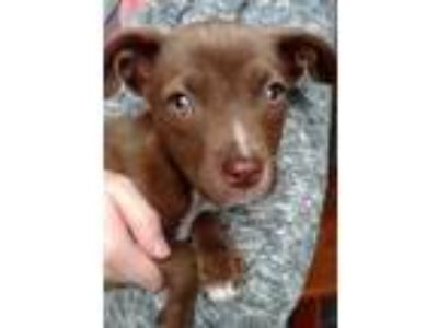 Adopt Jasper a Brown/Chocolate Labrador Retriever / Mixed dog in Bloomingdale
