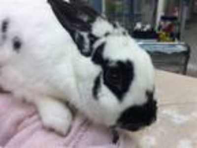 Adopt Rabbert Downey, Jr. (mcas) a Other/Unknown / Mixed (short coat) rabbit in