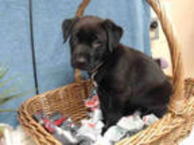 Adopt LUNA a Black - with White American Pit Bull Terrier / Rottweiler / Mixed