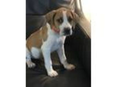 Adopt Bella a Tan/Yellow/Fawn - with White Beagle / Hound (Unknown Type) dog in