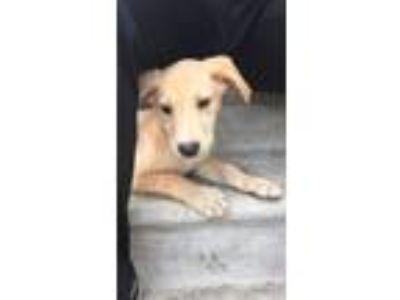 Adopt Amanda a Tan/Yellow/Fawn Labrador Retriever / Golden Retriever / Mixed dog