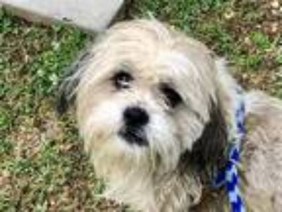 Adopt Maxwell a Shih Tzu / Mixed dog in Madison, NJ (25371861)