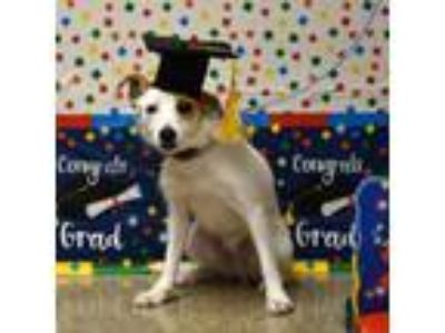 Adopt Charlie a Jack Russell Terrier