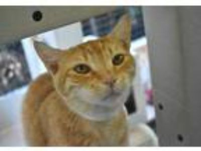 Adopt Duke a Orange or Red Domestic Shorthair / Domestic Shorthair / Mixed cat