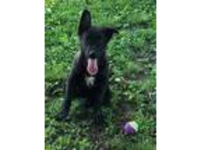 Adopt Wanda Robinson a Black - with White Shepherd (Unknown Type) / Mixed dog in