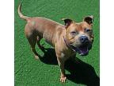 Adopt Farley a American Pit Bull Terrier / Mixed dog in Mipiltas, CA (25287751)