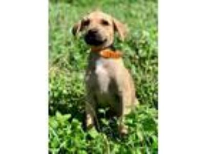 Adopt DELILAH a Brown/Chocolate - with White Shepherd (Unknown Type) / Mixed dog