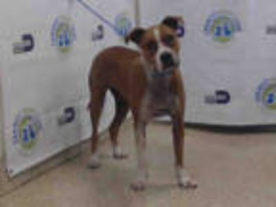 Adopt AMOR a Tan/Yellow/Fawn - with White Boxer / Mixed dog in Doral