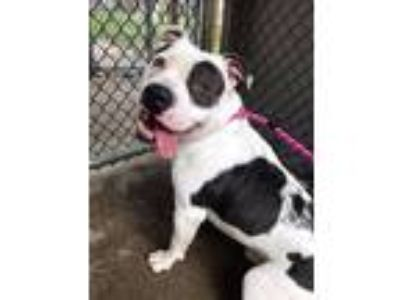 Adopt Peabody a White - with Black Pit Bull Terrier / Mixed Breed (Medium) /
