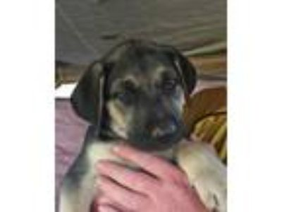 Adopt Oracle Puppy a German Shepherd Dog