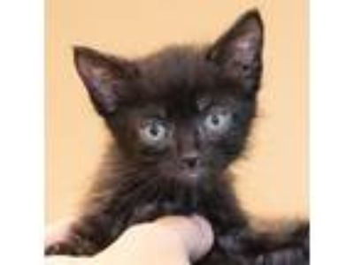 Adopt Sean a All Black Domestic Shorthair / Mixed (short coat) cat in Maryville