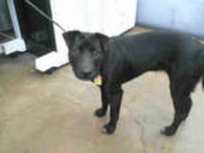 Adopt LUNA a Black Labrador Retriever / Mixed dog in Dallas, TX (25371399)
