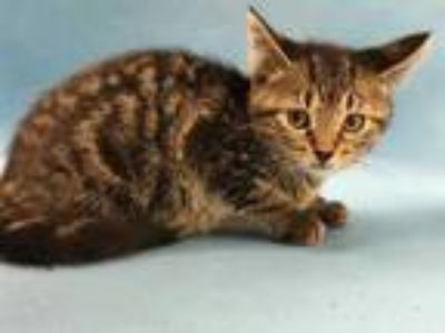 Adopt Yakko a Brown or Chocolate Domestic Shorthair / Mixed cat in Coon Rapids