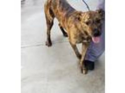 Adopt Rayas a Brindle Dutch Shepherd / Welsh Terrier dog in Oak Bluffs