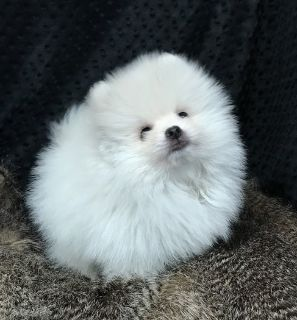 Pomeranian Puppies For Sale Classifieds In Birmingham Alabama