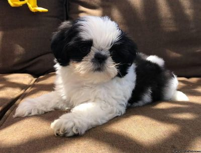 Very Playful Shih Tzu Puppies for Adoption