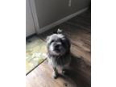Adopt Quincee a Gray/Silver/Salt & Pepper - with White Pug / Silky Terrier /
