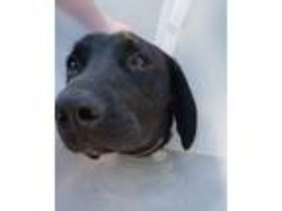 Adopt Atari a Black - with White Labrador Retriever / Mixed dog in Pottsville