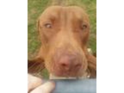 Adopt Ace a Red/Golden/Orange/Chestnut American Pit Bull Terrier dog in